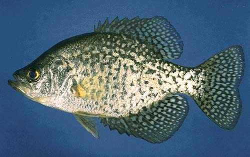 Black crappie fish images galleries for Crappie fish facts